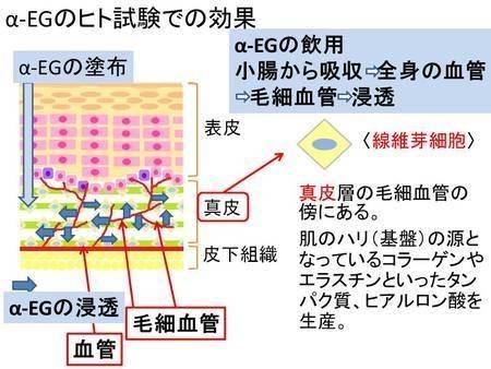 コラーゲンを生成するα-EG