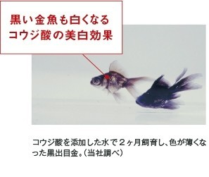 黒い金魚も白くなるコウジ酸の美白効果